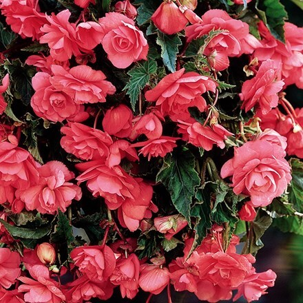 Begonia (Pendula Group) Pink Giant