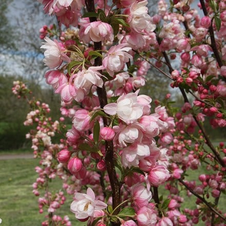 Malus Pink Perfection