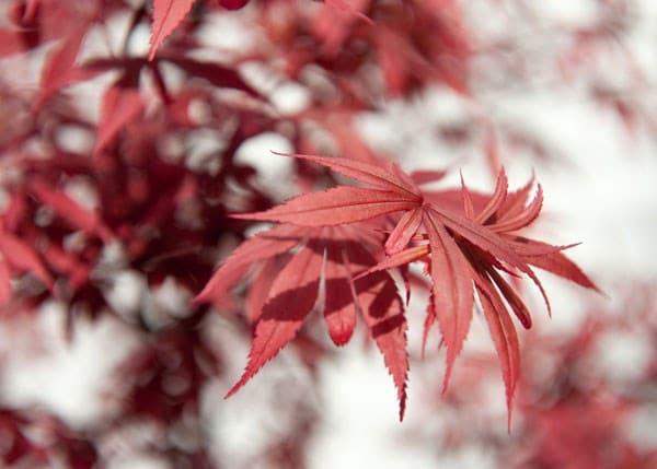 buy japanese maple acer palmatum shaina delivery by crocus. Black Bedroom Furniture Sets. Home Design Ideas