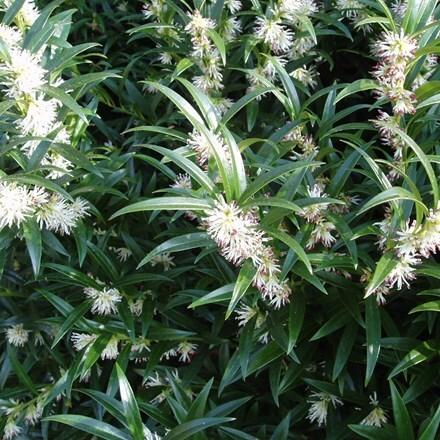Sarcococca hookeriana var. hookeriana 'Ghorepani'