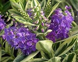 shruby veronica (syn. Hebe × franciscana Variegata )