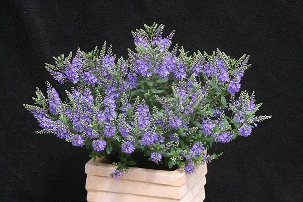 Buy shrubby veronica Hebe Garden Beauty Blue ('Cliv') (PBR ...