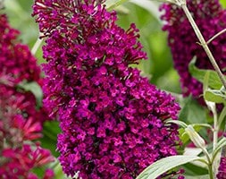 butterfly bush Sugar Plum