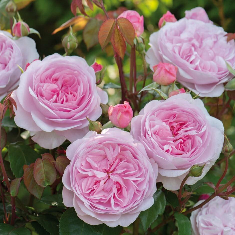 rose Olivia Rose Austin (shrub)