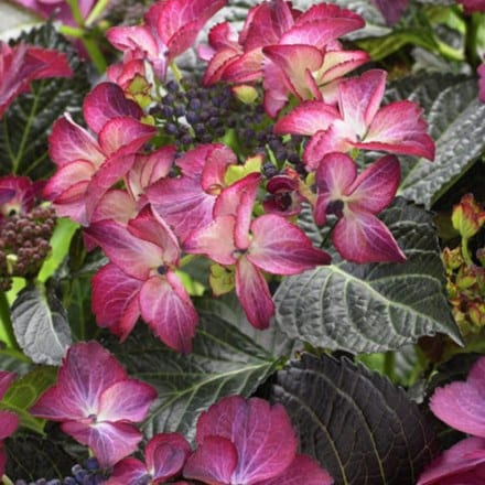 Hydrangea macrophylla Dark Angel Purple (Black Diamonds Series)