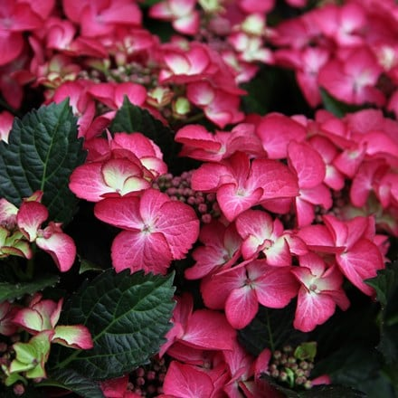 Hydrangea macrophylla Dark Angel Red (Black Diamonds Series)