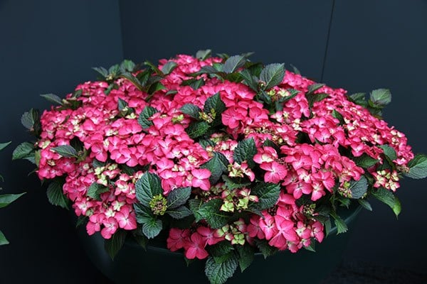 <i>Hydrangea macrophylla</i> 'Dark Angel Red' (Black Diamonds Series)