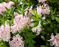 rhododendron ( Inkarho group )