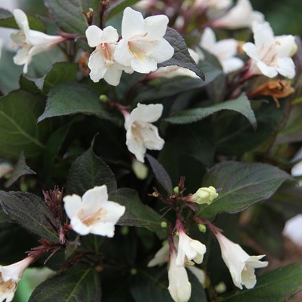 Weigela Ebony and Ivory ('Velda') (PBR)