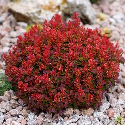 Berberis thunbergii Lutin Rouge (PBR)