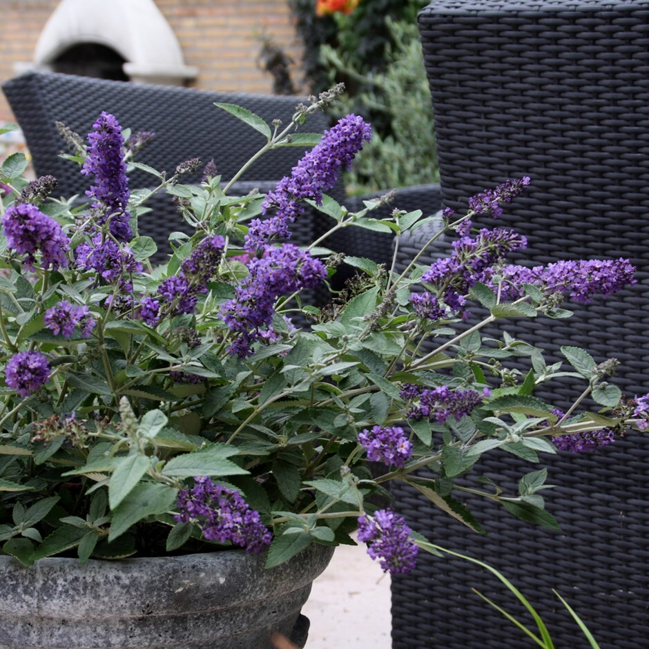buy butterfly bush free buddleja free blue heaven podaras no 8 pbr