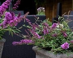 butterfly bush Free Petite