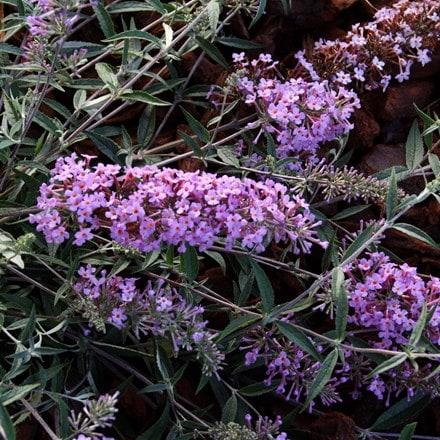 Buddleja Free Petite Lavender Flow ('Podaras No 12') (PBR)