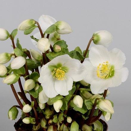 Helleborus Verboom Beauty
