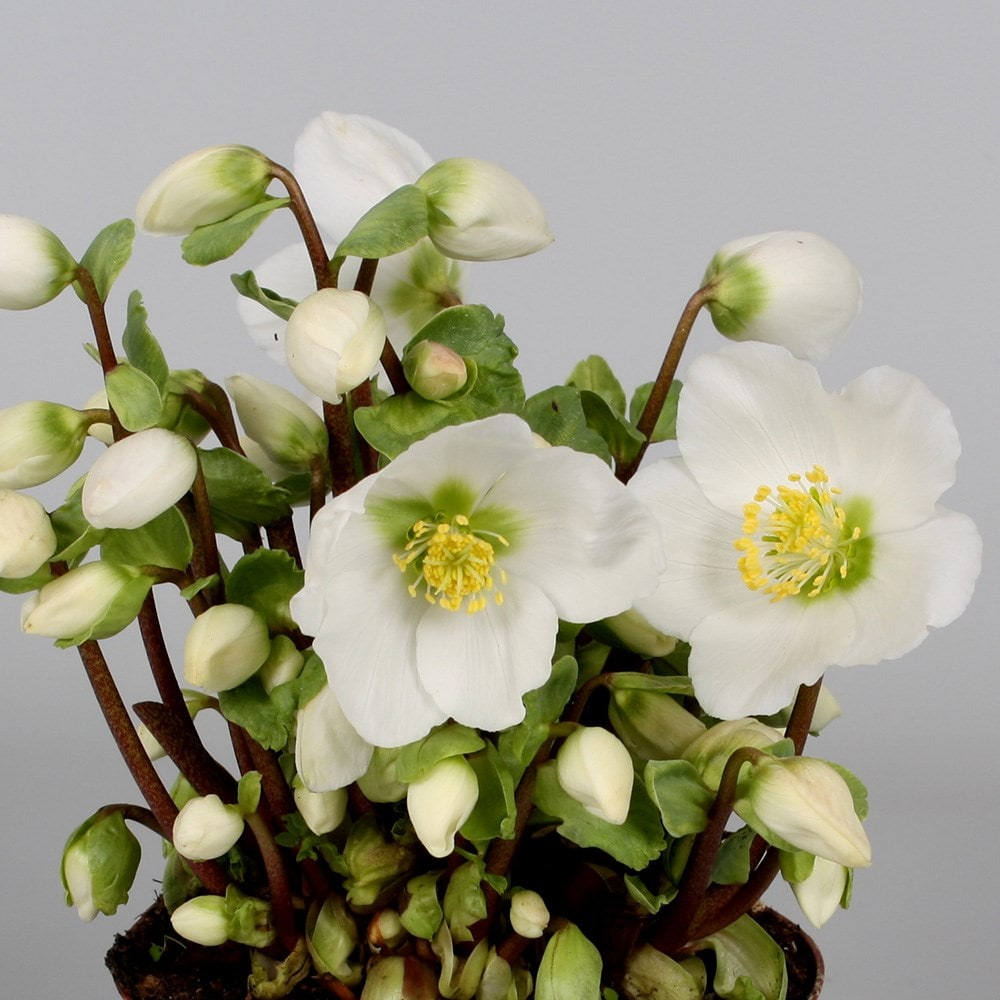 buy christmas rose hellebore helleborus verboom beauty   u00a317 99 delivery by crocus