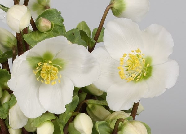 <i>Helleborus</i> 'Verboom Beauty'