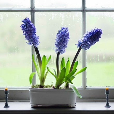 Scented blue hyacinths ceramic bowl