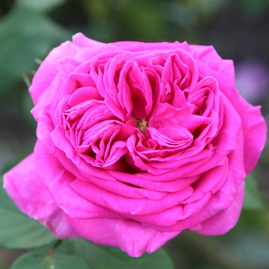 rose Mme Isaac Pereire (bourbon)