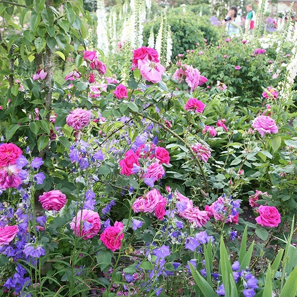 Buy Rose Mme Isaac Pereire  Bourbon  Rosa Madame Isaac