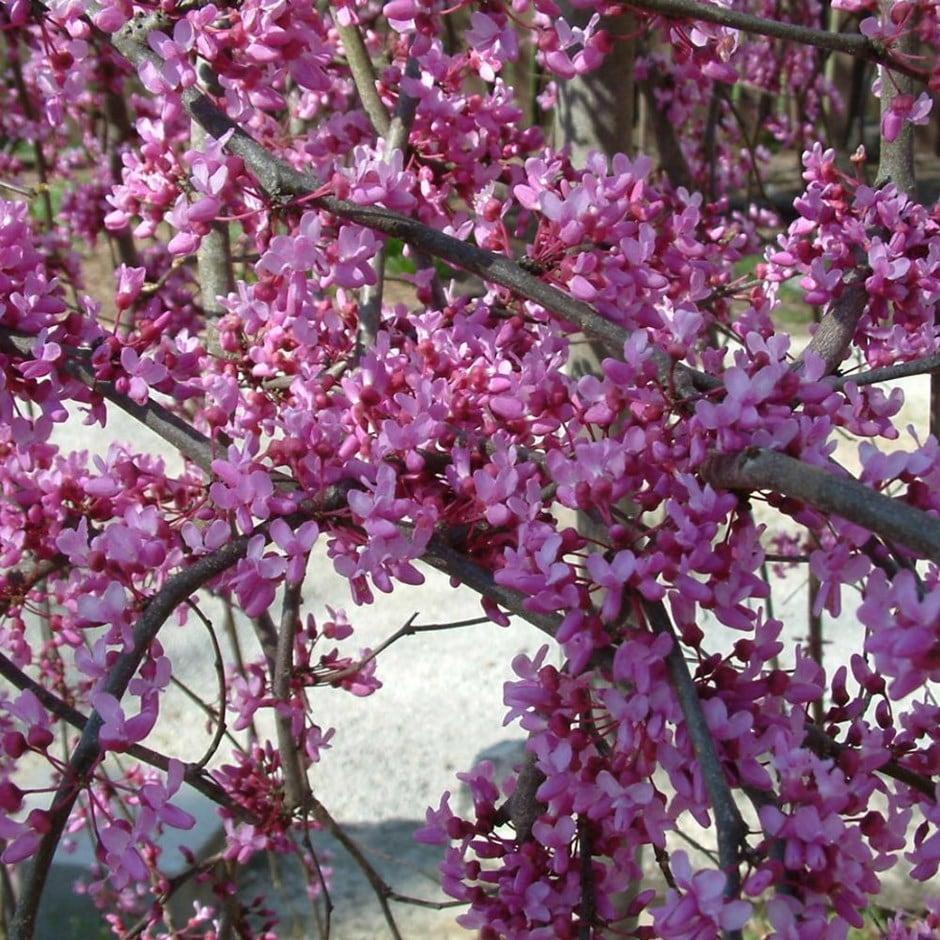 Buy American Redbud Cercis Canadensis Lavender Twist