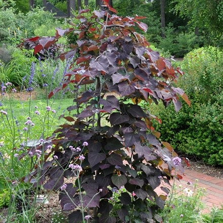 Cercis canadensis Ruby Falls (PBR)