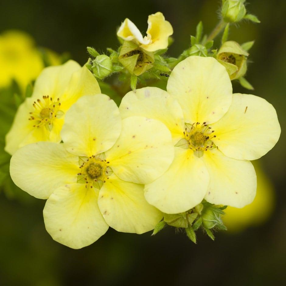 Buy shrubby cinquefoil potentilla fruticosa primrose beauty 599 potentilla fruticosa primrose beauty mightylinksfo