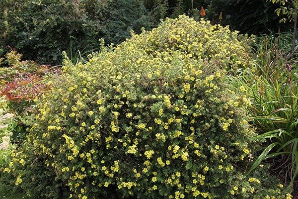 Buy shrubby cinquefoil Potentilla fruticosa Primrose Beauty