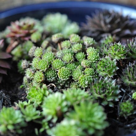 Sempervivum collection