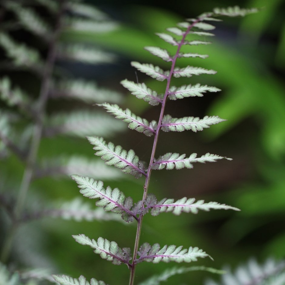 painted lady fern