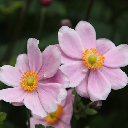 Anemone × hybrida Montrose