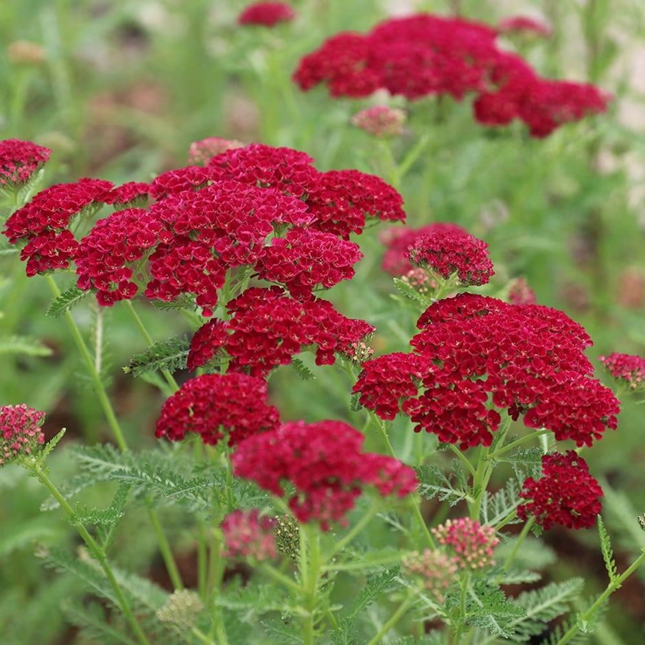 buy yarrow achillea millefolium pomegranate tutti frutti