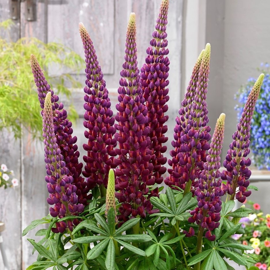 Buy Lupin Lupinus Masterpiece Pbr 163 7 99 Delivery By Crocus