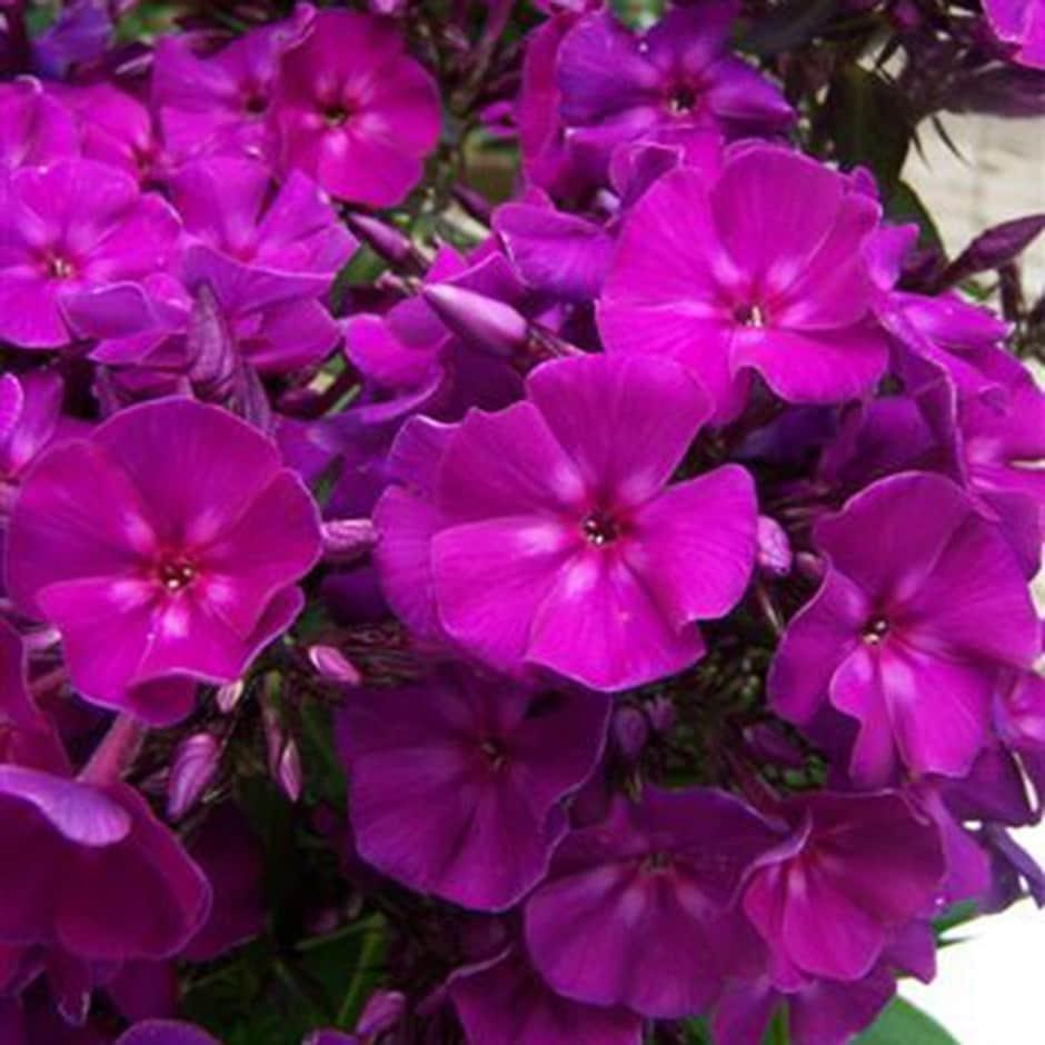 Buy Perennial Phlox Phlox Paniculata Roberta 699 Delivery By Crocus