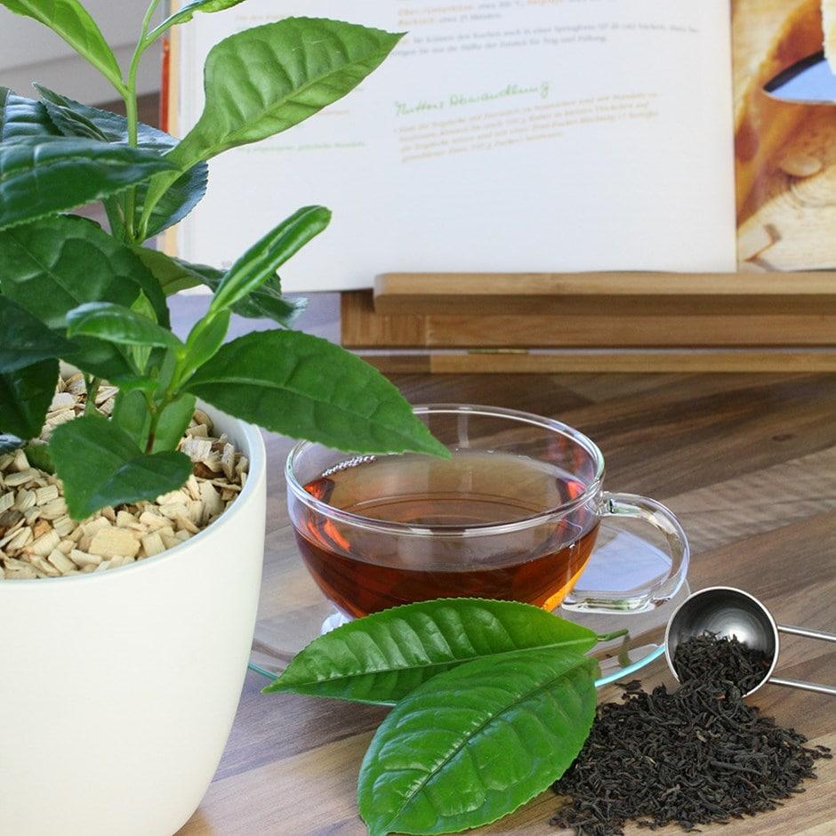 grow your own tea / Camellia sinensis var. sinensis