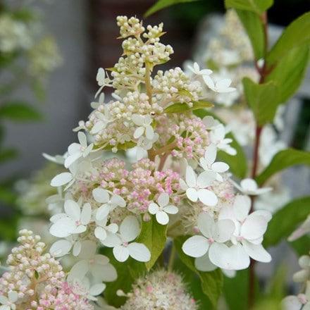 Hydrangea paniculata Confetti ('Vlasveld02') (PBR)
