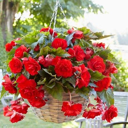 Begonia (Pendula Group) Red Giant