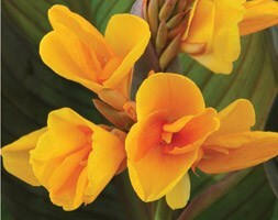 Canna Chocolate Sunrise