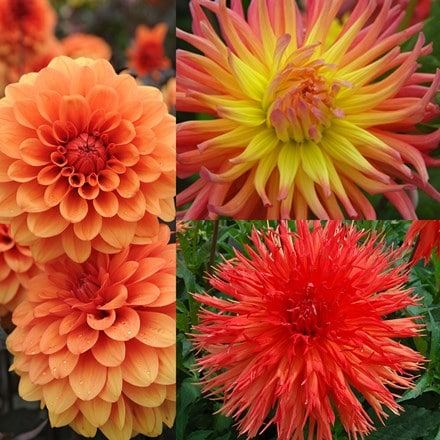 Burnt orange dahlia collection