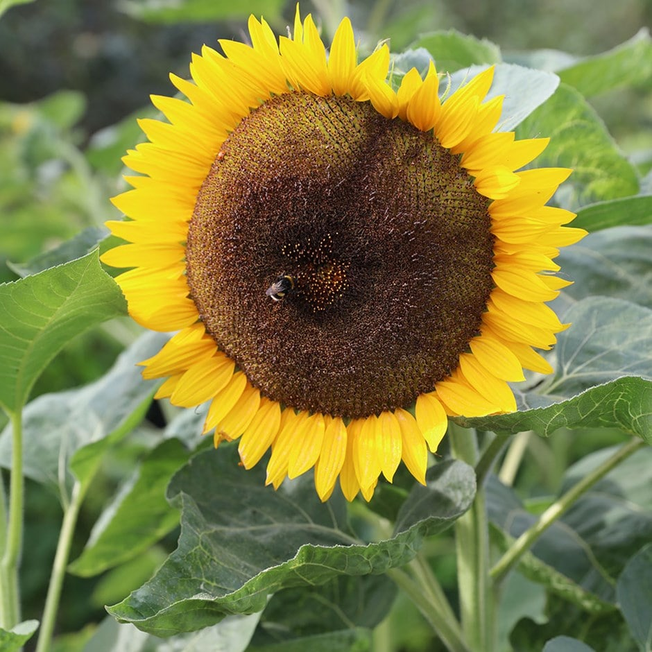 Buy sunflower Helianthus Tall Single: £2.29 Delivery by Crocus
