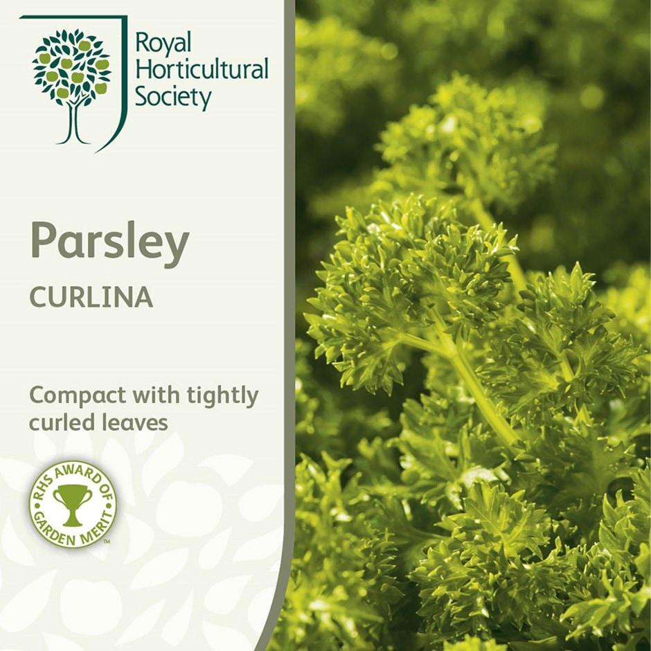 curled parsley / Petroselinum crispum 'Curlina'