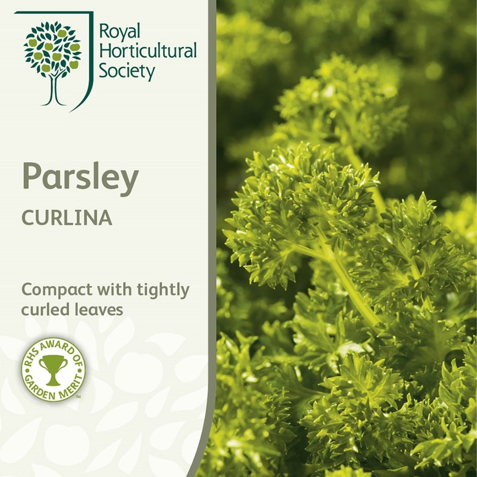 curled parsley / Petroselinum crispum 'Curlina'