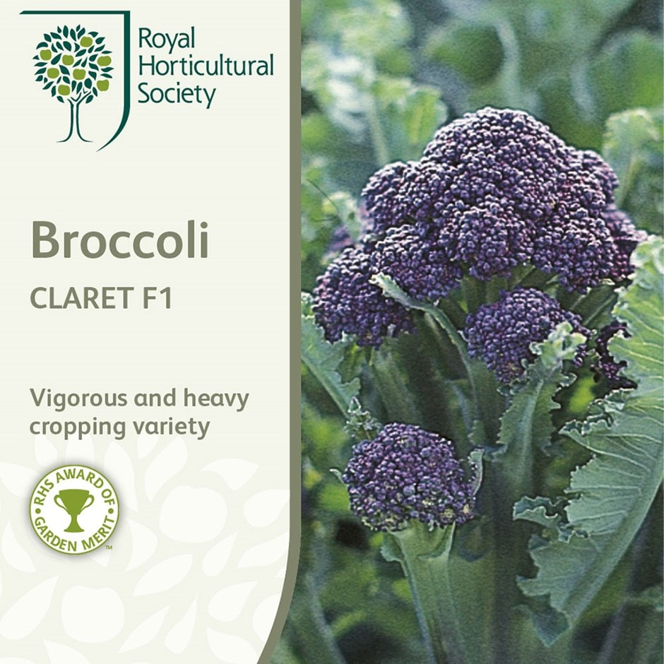 broccoli ( purple sprouting ) / Brassica oleracea (Italica Group) 'Claret' F1