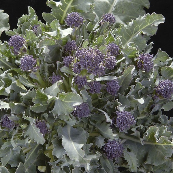 broccoli (purple sprouting) 'Red Admiral' F1