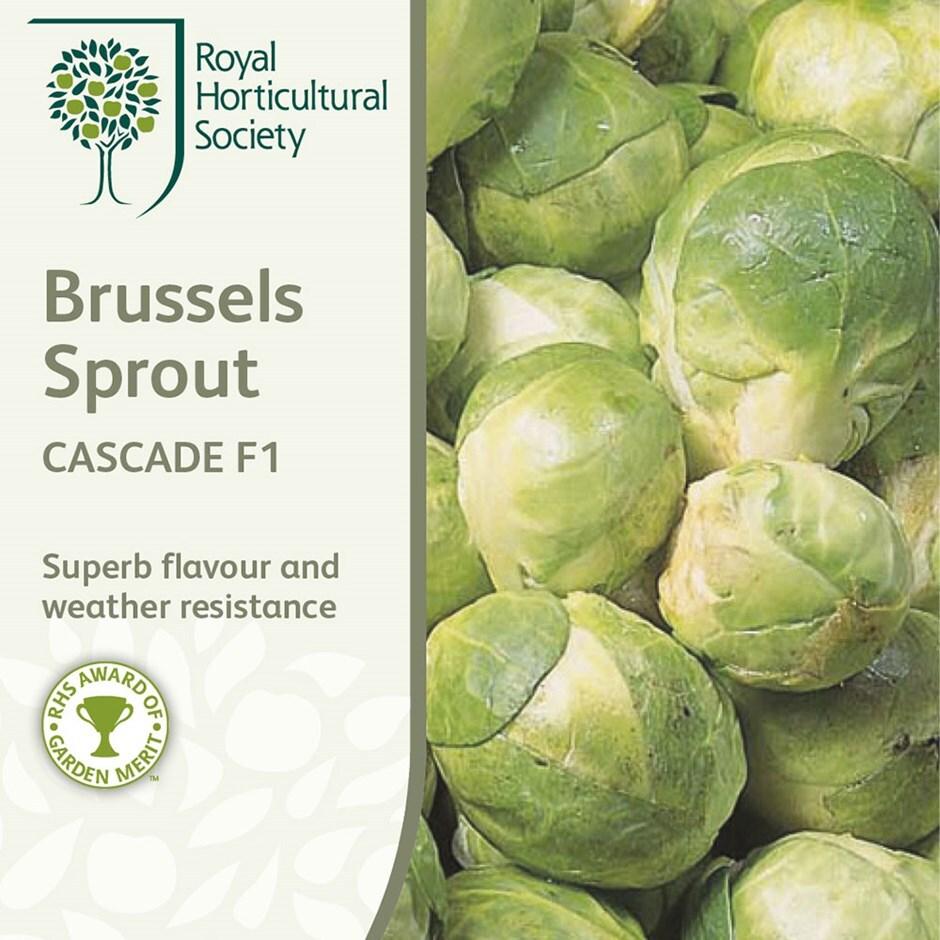 brussels sprout / Brassica oleracea (Gemmifera Group) 'Cascade' F1