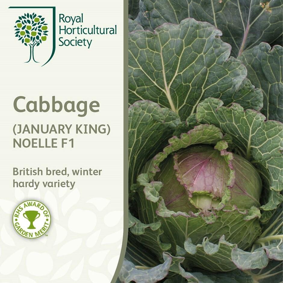 cabbage (January King) / Brassica oleracea (Capitata Group) 'Noelle' F1