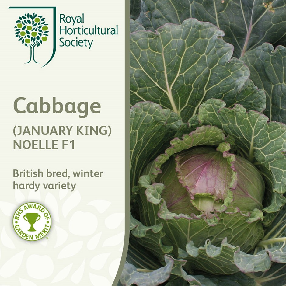 cabbage (January king) / Brassica oleracea (Capitata Group) 'Noelle' F1