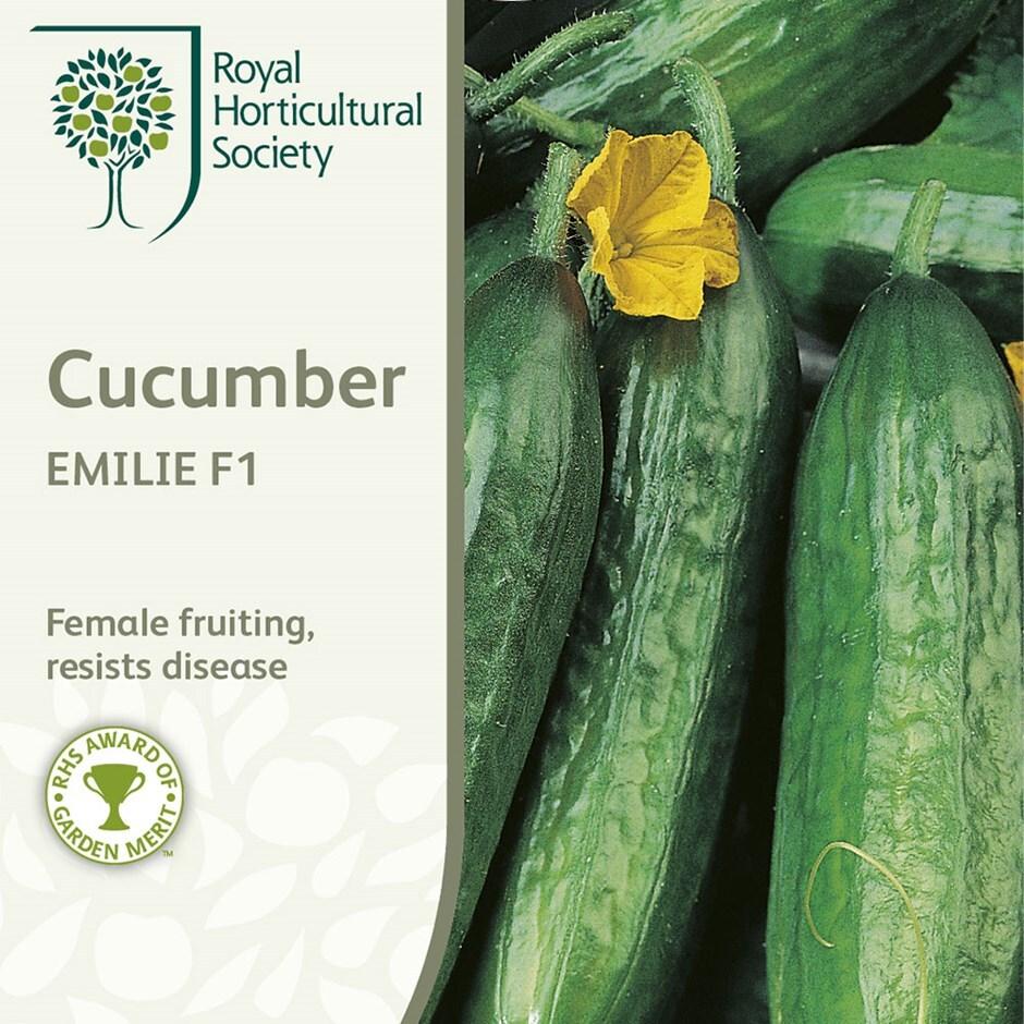 cucumber / Cucumis sativus 'Emilie' F1