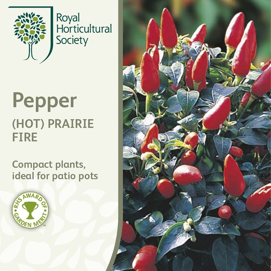 chillies pepper / Capsicum annuum var. annuum 'Prairie Fire'