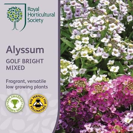 Alyssum Golf Bright Mixed