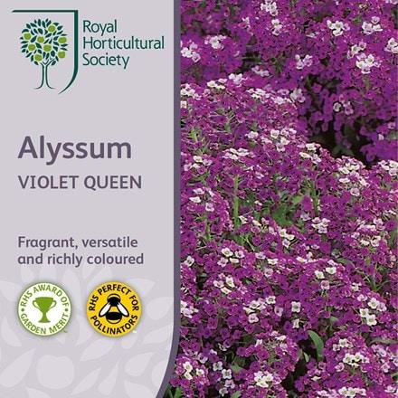 Lobularia maritima Violet Queen
